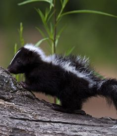 I will have a skunk for a pet. They are the cutest animals everrrrrr Live Animals, Animals And Pets, Beautiful Creatures, Animals Beautiful, Baby Chimpanzee, Baby Skunks, Mundo Animal, Tier Fotos, Serval