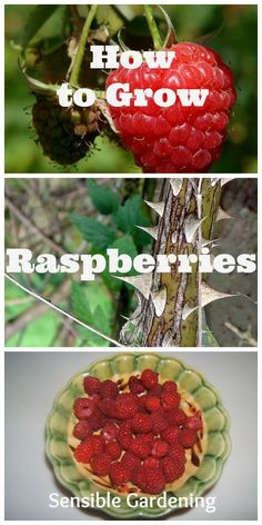 How to Grow Raspberries with Sensible Gardening