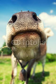 cow showing us his nose by Besa_Art on Cow Nose, Show Us, Garden Sculpture, Camel, Outdoor Decor, Photography, Animals, Agriculture, Photos