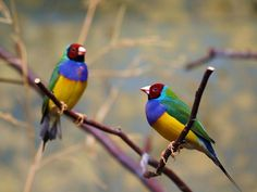 Lady Gouldian Finches