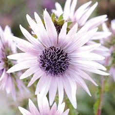 Berkheya purpurea from Thompson & Morgan - experts in the garden since 1855 Flowers Nature, Floral Flowers, Pretty Flowers, Low Growing Shrubs, Biennial Plants, Woman Smile, Landscaping Plants, Flower Beds, Perennials