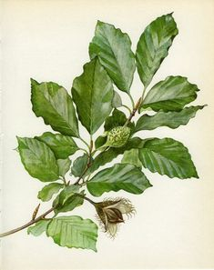 Common or European Beech