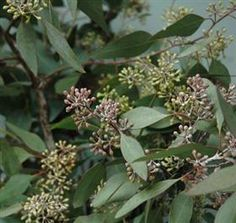 Seeded eucalyptus Mayesh Wholesale Florists - Search our Flower Library