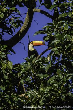 Animais - RepLago - Rep Lago - Acampamento - Natureza - Verde - mata - bicho - ave - tucano