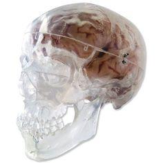 Transparent Classic Human Skull Model 3 Part. Buy Transparent Classic Human Skull Model 3 Part now with free delivery. Full range of anatomical models, medical models and anatomical charts including the Transparent Classic Human Skull Model 3 Part. Human Skull Anatomy, Anatomy App, Skull Model, Anatomy Models, Shapes, Classic, Image, Skulls, Candy