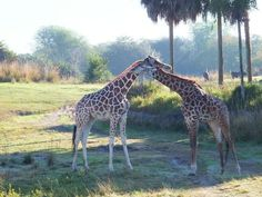 Disney Wordless Wednesday - The Kilimanjaro Safari at Animal Kingdom
