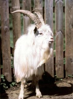 This is a Cashmere goat!