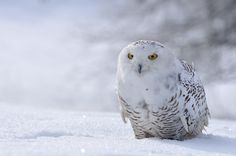 A spate of early sightings of Snowy Owls in the Northeast has the birding community excited for a possible repeat of last year's mega irruption that saw dozens of sightings of Snowy Owls in Connecticut and other Northeastern states. While there has been a respite in sightings in Connecticut in the last week, the potential…