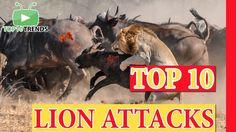 TOP 10 LION ATTACKS (Vs Bull, Buffalo, Zebra, Giraffe, Hyena, Lion, Elep...