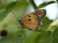 Photo de papillon : Nymphale du pourpier - Hypolimnas misippus - Faux-monarque - Papilio misippus - Danaid Eggfly