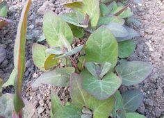 Il Bietolone, Spinacione o Treppico (Atreplice). Come si coltiva - Coltivare l'orto