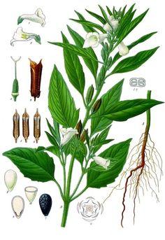 Archivo:Sesamum indicum - Köhler–s Medizinal-Pflanzen-129.jpg