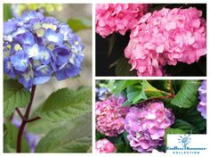 There is so much to love about the Endless Summer BloomStruck series and the bold, re-blooming colors of this Hydrangea. BloomStruck boasts some of the best and biggest blooms that last all Summer. The stunning red-purple stems and dark green leaves give a striking contrast against other garden Shrubs, perennials, and annuals. And talk about Texas-worthy! These Hydrangeas have an above average heat tolerance and high disease resistance that it's a perfect combination of beauty and hardiness! Dallas Fort Worth Texas, Texas Gardening, Herbaceous Perennials, Garden Shrubs, Water Wise, Hydrangeas, Native Plants, Red Purple, Stems