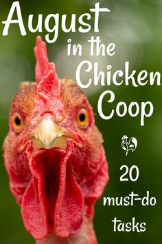 Raising backyard chickens in August: how to care for your flock when the weather heats up. 20 tasks to complete before the month is out. Easy Chicken Coop, Diy Chicken Coop Plans, Chicken Feeders, Chicken Garden, Chicken Life, Chicken Coop Designs, Backyard Chicken Coops, Summer Chicken, Herbs For Chickens
