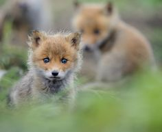 No matter how cunning foxes may be, these 20 adorable baby fox pictures will melt your heart. You can find some fox facts between the photos. Cute Animals With Funny Captions, Cute Animal Memes, Cute Animal Videos, Animal Facts, Cute Baby Animals, Red Fox Pictures, Cute Animal Pictures, Fox Pups, Fox Dog