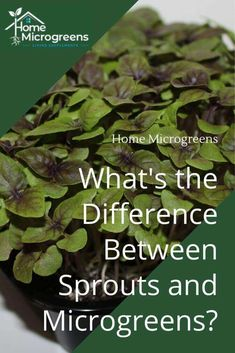 What&;s the Difference Between Sprouts and Microgreens? A common question asked at my presentations a&; What&;s the Difference Between Sprouts and Microgreens? A common question asked at my presentations a&; Tracy Indoor microgreens What&; Growing Sprouts, Growing Microgreens, Growing Seeds, Growing Plants, Hydroponic Gardening, Hydroponics, Container Gardening, Indoor Gardening, Vegetable Gardening