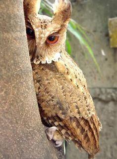 giant scops owl ~ beautiful!