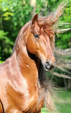 Gorgeous colored horse with shiny coat and long mane. Clemence Faivre - Son cheval Gotan