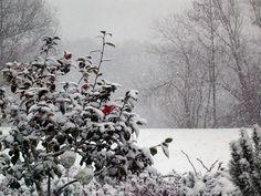 Die 1. Kamelienblüte im Schnee.