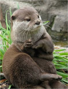 love the clownish sincerity of otters—their adorable, slightly buffoonish concentration as they play with shells or rocks, dive for food, . Otters Cute, Baby Otters, Cute Baby Animals, Animals And Pets, Funny Animals, Wild Animals, Beautiful Creatures, Animals Beautiful, Significant Otter