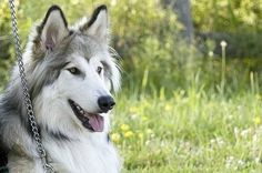 My dream dog: Native American Indian dog. I absolutely adore them