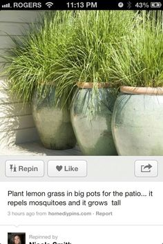 potted lemongrass grows tall and repels mosquitoes!   I was already planning on redoing my pots out front and painting this weekend! I was trying to figure out what I would plant there! hello! Plus, we have a huge pest issue. I love that it will grow tall and create some dimension  in the bed.