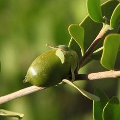 "JOJOBAÖL<em><span style=""font-size: 16px;""><br />Simmondsia Chinensis Seed Oil</span></em>"