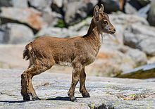 Capra pyrenaica - Wikipedia, la enciclopedia libre