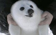 Happy earless seal