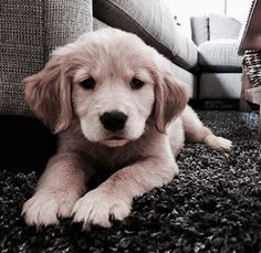 The many things I admire about the Trustworthy Golden Retriever Animals And Pets, Baby Animals, Funny Animals, Cute Animals, Funny Pets, Cute Puppies, Cute Dogs, Dogs And Puppies, Doggies