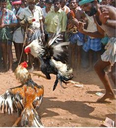 rooster fights in japanese art - Google Search