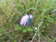 Forester moth, Kuresoo Bog.