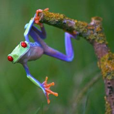"""""""Talented frog""""~The red-eyed tree frog has three eyelids, and sticky pads on its toes. Phyllomedusid tree frogs are arboreal animals, meaning they spend a majority of their lives in trees; Nature Animals, Animals And Pets, Cute Animals, Wild Animals, Baby Animals, Funny Frogs, Cute Frogs, Beautiful Creatures, Animals Beautiful"""
