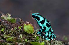 Dendrobates Auratus by palnick, via Flickr