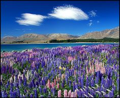 Lupins (Lupinus polyphyllus) at Lake Tekapo - Canterbury, New Zealand.  Photo: Daniel Murray (2007).  The plant has escaped from gardens and grows wild on the South Island.  It is considered an invasive species.