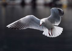 Black-headed Gull(Larus ridibundus)ユリカモメ