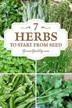 Fresh herbs add delightful flavor and fragrance to foods. You can't get any fresher than snipping leaves and springs from your own homegrown plants right before meal preparation. These are some of my favorite culinary herbs to grow year after year. | 7 Herbs to Start from Seed | Grow a Good Life