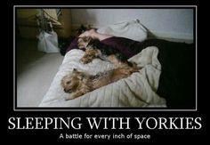 Sleeping with Yorkies