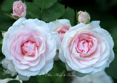 These are the most perfect pale pink roses I've ever seen! I want some.