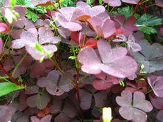 Tietoja kasvista Pihakäenkaali, Oxalis fontana 'Rufa', klöveroxalis. Arka talvimärkyydelle.<br> Syötynä pieni määrä on vaaraton, runsaamin syötynä voi aiheuttaa vatsaoireita ja suurissa määrissä munuaisvaurion.