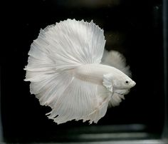 Albino Betta Fish Picture 8 of 20 - Solid White Halfmoon - HD Wallpapers Pretty Fish, Cool Fish, Beautiful Fish, Betta Fish Types, Betta Fish Care, Colorful Fish, Tropical Fish, Beautiful Creatures, Animals Beautiful