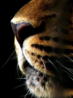 Whiskers  Nose #lions