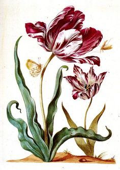 My Tribe: Maria Sibylla Merian Vintage Botanical Prints, Botanical Drawings, Botanical Flowers, Botanical Art, Tulip Drawing, Sibylla Merian, Illustration Blume, Nature Artists, Floral Illustrations