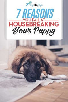 Puppy Training: Reasons You Fail At Housebreaking a Puppy – Sam ma Dog Training Puppy Training Tips, Training Your Dog, Potty Training, House Training A Puppy, Training Classes, Chihuahua, Schnauzer Puppies, Poodle Puppies, Tiny Puppies