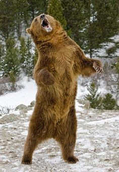 grizzly bear standing - Buscar con Google