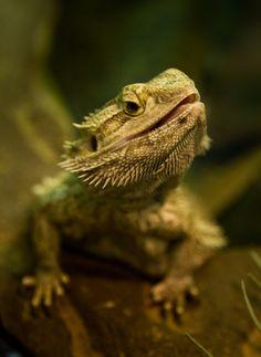 Lizard by ~AidenVennis Bearded Dragon!