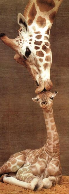 Giraffe mother kissing baby's head