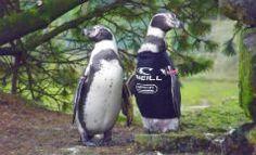 almasurf.com Ralph o Pinguim ganha wetsuit e é o mais novo membro da equipe O'Neill