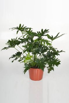 Philodendron Cum Laude - Phileo