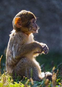 Baby Macaque by Tambako the Jaguar on Flickr